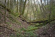 "Moss covered fallen trees in broadleaved forest on slopes of river Ruņa, nature reserve ""Ruņupes ieleja"" (dabas liegums ""Ruņupes ieleja""), Kurzeme, Latvia Ⓒ Davis Ulands | davisulands.com"