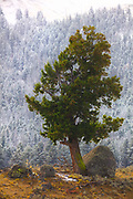 A large Douglas fir (Pseudotsuga menziesii) stands in contrast to the snow-dusted forest at a slightly higher elevation in the early autumn in the Lamar Valley of Yellowstone National Park, Wyoming.