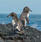 The endangered Galapagos Penguin, Spheniscus mendiculus, found in pairs, is the only penguin found north of the Equator.