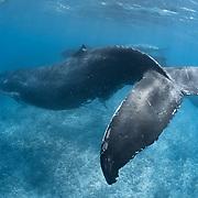 Large male escort humpback whale (Megaptera novaeangliae) accompanying an adult female with a female calf, all three passing over a shallow reef outside the Blue Lagoon area in Vava'u, Kingdom of Tonga. Female calf 201314, mom, escort