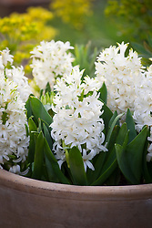 Hyacinthus orientalis 'White Pearl' in a terracotta pot