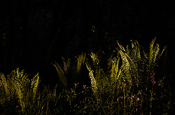 THEMENBILD - Farn (Osmunda regalis) im Gegenlicht, aufgenommen am 07. Mai 2018, Kaprun, Österreich // Fern (Osmunda regalis) in backlight on 2018/05/07, Kaprun, Austria. EXPA Pictures © 2018, PhotoCredit: EXPA/ JFK