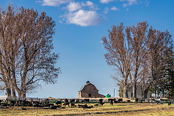 A cattle ranch in Firth Idaho.