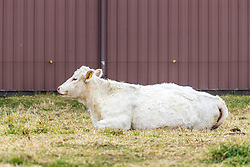 Charolais is a French breed of taurine beef cattle. It originates in, and is named for, the Charolais area in the Bourgogne-Franche-Comté region of France