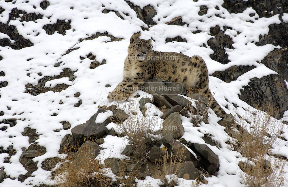 LADAKH, INDIA: Adult male snow leopard sits on snow covered rocks in Hemis National Park.