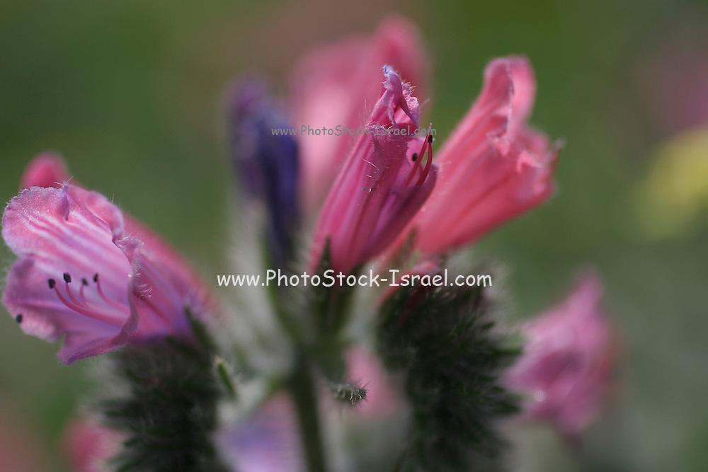 Spring time bloom, Israel