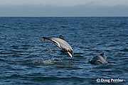 Hector's dolphin, Cephalorhynchus hectori, breaching, Endangered Species, endemic to New Zealand, Akaroa, Banks Peninsula, South Island, New Zealand ( South Pacific Ocean )