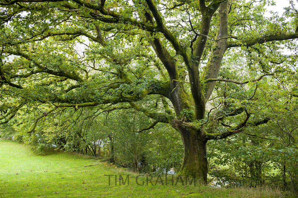 Ancient Oak Tree, Quercus,  in typical Welsh landscape in the Brecon Beacons in Wales, UK