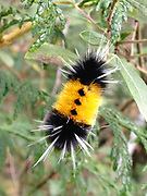 caterpillar identify woolly bear Insects, bugs, and arachnids among other invertebrates in southern BC and Vancouver Island in the Pacific North-West.