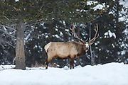 Bull elk during winter in Wyoming Bull elk during the fall rut in Wyoming