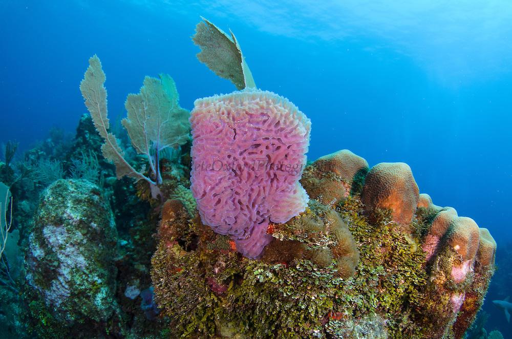 Azure Vase Sponge (Callyspongia plicifera)<br /> Hol Chan Marine Reserve<br /> near Ambergris Caye and Caye Caulker<br /> Belize<br /> Central America