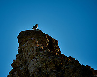 Bird on a Tufa. Mono Lake, South Tufa Area. Image taken with a Nikon D3 camera and 200 mm f/2 lens + 2.0 TCE (ISO 200, 400mm, f4, 1/1250 sec).