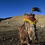 Mongolia. preparation of the naadam horse. winter camp of Gambolt family, nomads and catle breeders in the steppe in Shuranga  Uyanga, ovokangai province       /     /  preparation du meilleur cheval pour le naadam. campement d'hiver de la famille Gambolt , eleveur nomade dans la steppe a Shuranga  Uyanga , ovokangai province  Mongolie   /      L0009906  /     P119772 /  landscape /  paysage