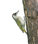 Green Woodpecker Picus viridis L 32-34cm. Unobtrusive and often shy. Climbs trees but also feeds on ground, mainly on ants. Flight is undulating. Sexes are separable. Adult Male has greenish olive upperparts and whitish underparts. Has red crown, black 'mask' and red-centred black 'moustache'. In flight, yellowish rump is striking. Adult female is similar but 'moustahce' is all-black. Juvenile recalls adult male but is heavily spotted. Voice yaffling and yelping calls are distinctive. Status Fairly common in open woodland, parks and gardens.
