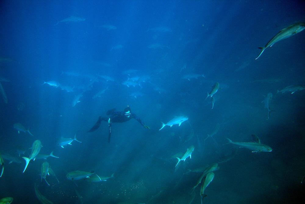 Kolt Johnson freedives within a school of amberjack swim in the waters off the coast of North Carolina. ..
