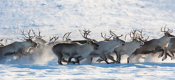 Reindeer (Rangifer tarandus) on the move, Norway