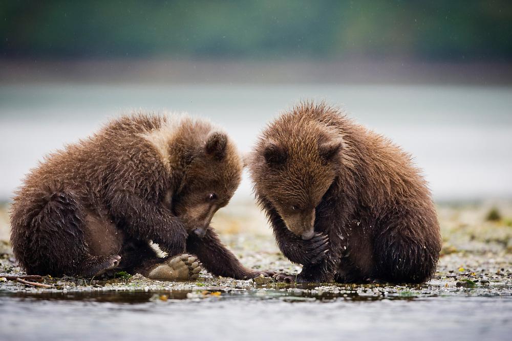 USA, Alaska, Katmai National Park, Geographic Harbor, Brown Bear cubs (Ursus arctos) along stream on autumn afternoon