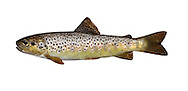 Brown Trout Salmo trutta Length 30-50cm <br /> This familiar sport fish is known in two forms: the Brown Trout, which spends its entire life in freshwater; and the so-called Sea Trout, which only ventures up rivers to breed. Both forms spawn in gravel beds in shallow water. An adult Brown Trout has an orange-brown body adorned with red and black spots; a Sea Trout is pale and silvery with a few dark spots. Brown Trout are widespread and often common in fast-flowing unpolluted rivers and streams. Sea Trout are scarce and declining, found mainly in the W and NW of Britain.