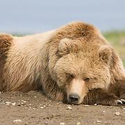 Alaskan Brown Bear (Ursus middendorffi) Resting. Katmai National Park. Alaska.