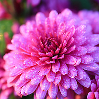 """""""Purple Mums""""<br /> <br /> Beautiful purple fall Mums glistening with raindrops!<br /> <br /> Flowers and Wildflowers by Rachel Cohen"""