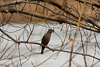 While technically year-round residents of the Calgary area, Bohemian Waxwings aren't very common in the city and are typically only seen during the spring migration.  This is the first one I've ever seen here, and it posed nicely for me until a surly Robin landed nearby and flushed it away...©2009, Sean Phillips.http://www.Sean-Phillips.com