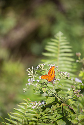 orange stripped butterfly on a flowering plant in the Everglades