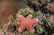 Granular Sea Star (Choriaster granulatus)<br /> Cenderawasih Bay<br /> West Papua<br /> Indonesia