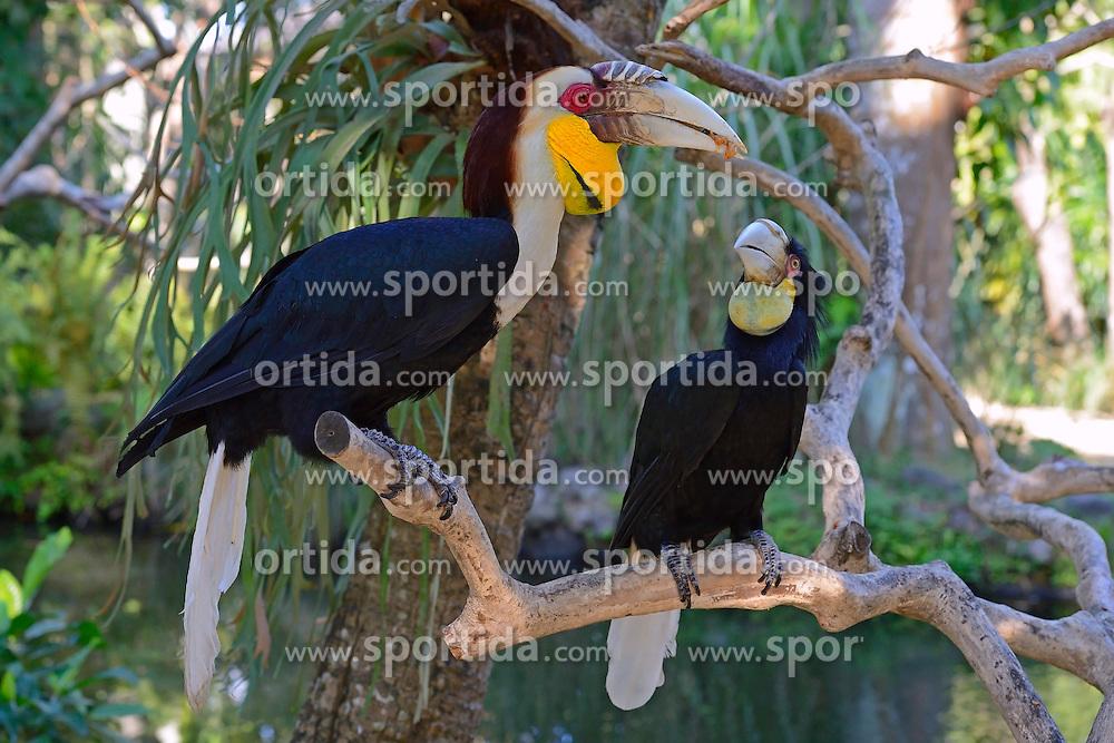 23.07.2014, Bali, IDN, Natur und Sehenswuerdigkeiten in Indonesien, im Bild Paar des Furchenhornvogel (Aceros undulatus), Maennchen vorn, Weibchen hinten, Bali, Indonesien. EXPA Pictures © 2014, PhotoCredit: EXPA/ Eibner-Pressefoto/ Schulz<br /> <br /> *****ATTENTION - OUT of GER*****