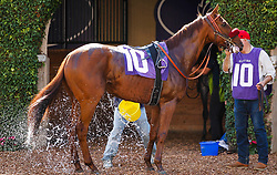 November 3, 2017 - Del Mar, CA, USA - DEL MAR, November 3, 2017 | Lazzam gets a splash of water in the paddock area before racing in the second race during the Breeders' Cup at the Del Mar racetrack in Del Mar on Friday. | Photo by Hayne Palmour IV/San Diego Union-Tribune/Mandatory Credit: HAYNE PALMOUR IV/SAN DIEGO UNION-TRIBUNE/ZUMA PRESS San Diego Union-Tribune Photo by Hayne Palmour IV copyright 2017 (Credit Image: © Hayne Palmour Iv/San Diego Union-Tribune via ZUMA Wire)