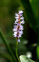 01 June 2015. Jean Lafitte National Historic Park, Louisiana.<br /> Blue flowers of the Bog Lily, also known as the String Lily, Southern Swamp Lily, and Swamp Lily in the swamp at the Barataria Preserve wetlands south or New Orleans.<br /> Photo©; Charlie Varley/varleypix.com