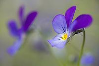 Wild pansy (Viola tricolor).<br /> Stockholm Archipelago, Sweden
