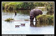 Birds Sit On Back Of Drinking Hippo.Hippo Pool At Keekorok Lodge @ Maasai Mara, Kenya.September 2012