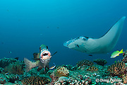 many-spotted sweetlips or harlequin sweetlips, Plectorhinchus chaetodonoides, being cleaned by blue-streak cleaner wrasse, Labroides dimidiatus, with manta ray being cleaned just behind, Lankan, North Male Atoll, Maldives ( Indian Ocean )