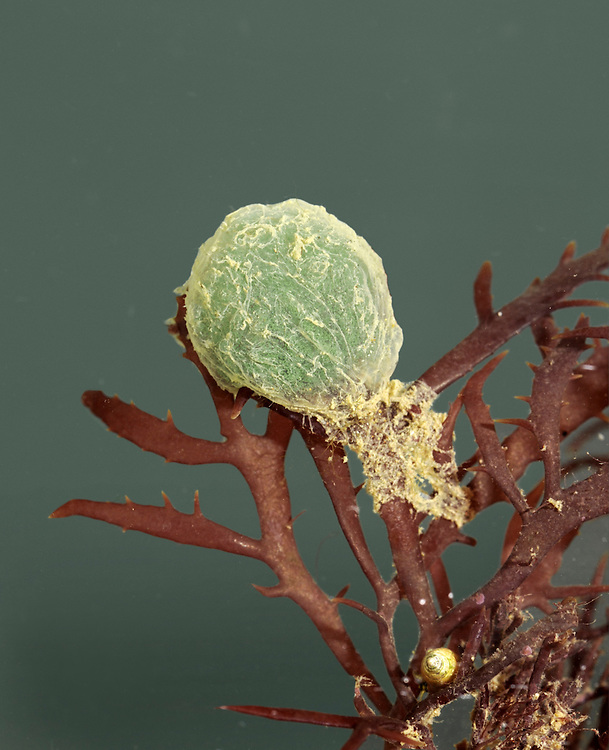 Paddleworm eggs - Phylum phyllodocidae