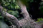Carajas_PA, Brasil...Floresta Nacional de Carajas. Na foto ninho de uma Harpia (Harpya harpyja) no galho de uma arvore  na floresta amazonica, Para...Harpy (Harpy harpyja) nest on the branch in brazilian walnut (Bertholletia excelsa) in the Amazon forest in the Floresta Nacional de Carajas, Para...Foto: JOAO MARCOS ROSA / NITRO .