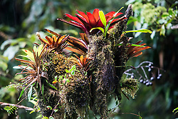 Epiphytes and bromeliads on tree near Monteverde Cloud Forest Preserve, Costa Rica. Captive.