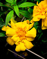 AeroGarden Farm 01-Right. Calendula Flowers. Image taken with a Fuji X-T3 camera and 80 mm f/2.8 macro lens (ISO 160, 80 mm, f/8, 1/60 sec).