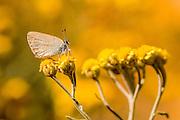 Rebel's Hairstreak (Satyrium myrtale) is a butterfly in the family Lycaenidae. Photographed in Israel in June