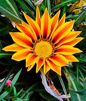 Orange Gazania. Image taken with a Fuji X-T3 camera and 80 mm f/2.8 macro lens (ISO 640, 80 mm, f/11, 1/60 sec)