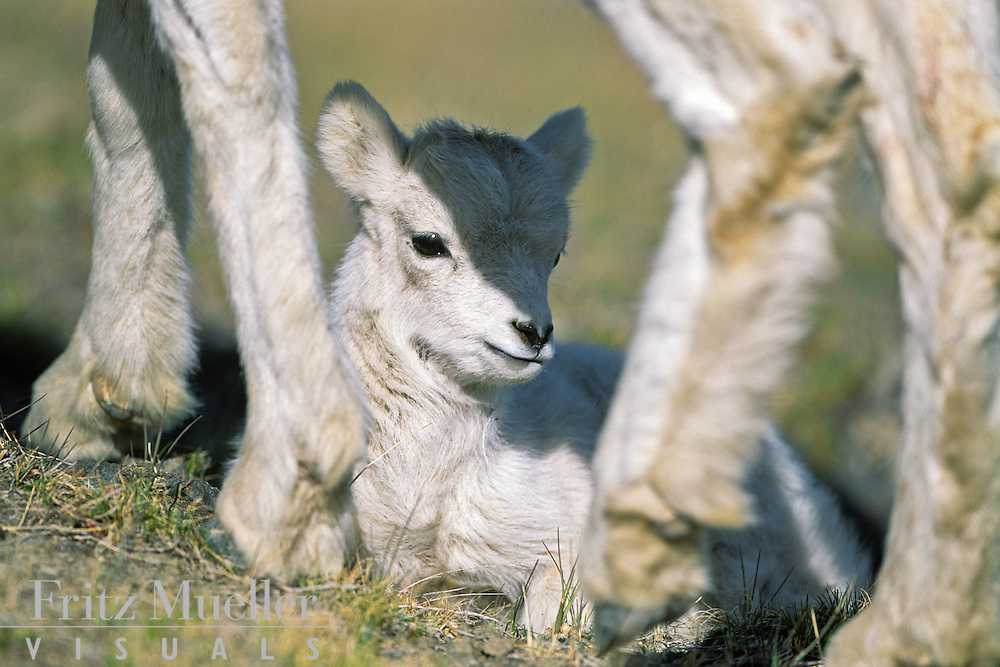 Dall sheep lamb, Kluane National Park, Yukon