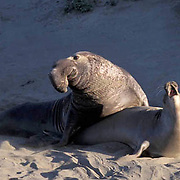 Northern Elephant Seal, (Mirounga angustirostris)  Male mating with female. California.