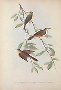 Three Drymoica birds from Zoologia typica; or, Figures of new and rare animals and birds described in the proceedings, or exhibited in the collections of the Zoological Society of London. By Fraser, Louis. Zoological Society of London. Published London, March 1847