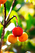 Arbousier, arbouse, strawberry tree with fruit. Chateau Mire l'Etang. La Clape. Languedoc. France. Europe.