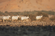 A Herd of Arabian Oryx (Oryx leucoryx). The Arabian oryx is a large white antelope, Almost totally extinct in the wild several groups have since been reintroduced to the wild. Photographed in Israel, Aravah desert,