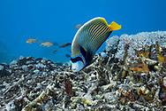 Emperor angelfish-Poisson ange empereur (Pomacanthus imperator), Nusa Penida island, Bali, Indonesia.