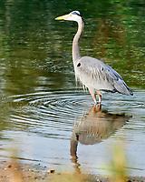Great Blue Heron (Ardea herodias). Fort De Soto Park. Pinellas County, Florida. Image taken with a Nikon D3x camera and 600 mm f/4 VR lens.