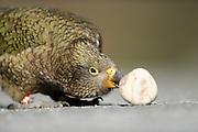 Kea (Nestor notabilis) Arthur's Pass, New Zealand | Kea oder Bergpapagei (Nestor notabilis); Keas sind sehr neugierig, sie versuchen alles ihnen unbekannte zu erforschen. Diese Eigenschaft nennt man Neophilie. Im Vergleich zu allen anderen Vögeln behält er diese Eigenschaft sein Leben lang. Arthur's Pass, Neuseeländische Alpen, Neuseeland.