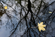 Leaves float on a small river in Park Lazienkowski in Warsaw, Poland
