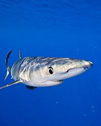 blue shark, Prionace glauca, large female, Big Island, Hawaii, USA, Pacific Ocean