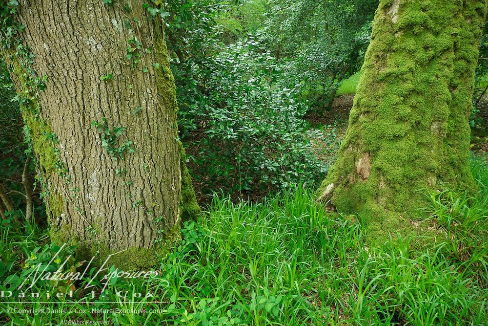 Trees growing in Killarney National Park, Ireland.